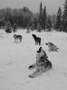 snow winter Black and White wolf nature forest wolves wild Woods pines falling snow howling wolf Wolf Love, Wolf Spirit, My Spirit Animal, Beautiful Creatures, Animals Beautiful, Tier Wolf, Animals And Pets, Cute Animals, Wolf Hybrid