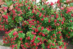 Crown-of-thorns plant euphorbia-mili-dwarf-red- (comes in reds, pinks, corals, yellow and white/also a variegated leaf variety) easy to grow 800x535.jpg