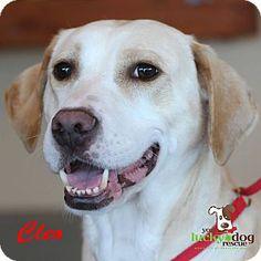 Alpharetta, GA - Labrador Retriever Mix. Meet Cleo a Dog for Adoption.