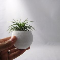 Mini Air Plant Pod   Sage // Planter (with Air Plant)