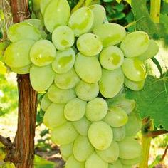 Are grapes fruit decorative grape vines,grape tree care grapevine tree,growing concord grapes how to fertilize grapes. Grape Tree, Grape Plant, Grape Vines, Vegetable Garden, Garden Plants, Organic Gardening, Gardening Tips, Espalier, Grapevine Growing