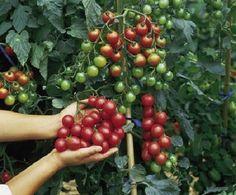 Ilyen csodát tesz a szódabikarbóna kertedben a paradicsommal!