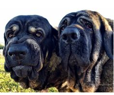 Clyde and Gus are Spanish Mastiff siblings.