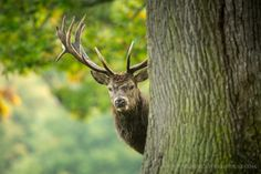 https://flic.kr/p/AyqP2t | Red Deer Behind Tree | The rut is well over now, and I've collected my favourite photos of the season into a blog post here.