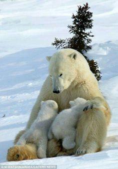 Polar Bears - Mom and Babies