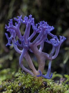 *Fungi - Ramariopsis pulchella (by Echidna Charlie) Mushroom Art, Mushroom Fungi, Wild Mushrooms, Stuffed Mushrooms, Mushroom Pictures, Slime Mould, Plant Fungus, Forest Creatures, Amazing Nature