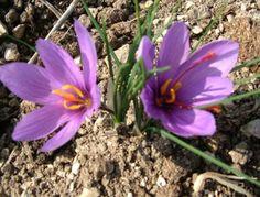 [IMG] safran çiçeği