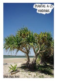 Casa Bela - Arvores - Pandanus Bali Garden, Garden Trees, Tropical Garden Design, Tropical Plants, Coastal Gardens, Tree Forest, Plant Design, Tropical Paradise, Cool Plants