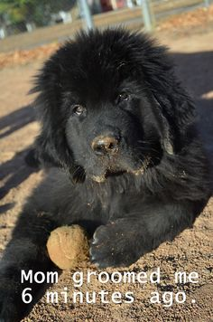 "That just about answers the question ""do Newfoundlands need to be brushed a lot?"""