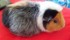 my guinea pig is so cute! Guinea Pigs, Rabbit, Pets, Animals, Bunny, Rabbits, Animales, Animaux, Animal