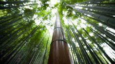 Powerful bamboo, Hokokuji temple in Kamakura, 報国寺 (鎌倉)