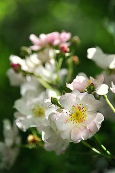 Wild Rose - makes me think of Edward Macdowell's lovely piano composition, To A Wild Rose, one of my favorites.