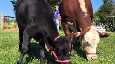 Rescue Cows Dudley And Destiny Fell In Love The Moment They Met