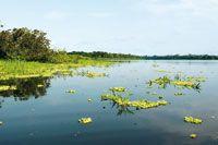En los extensos lagos de la planicie de inundación del río Amazonas, las plantas acuáticas son fuente de alimento para la variada fauna.