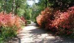 Jeli arborétum - Rododendron
