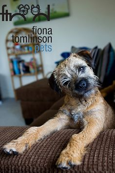 border terrier   ...........click here to find out more     http://googydog.com