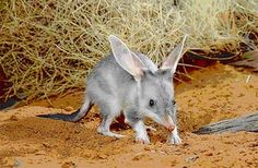 Bilby Experience - The Bilby is one of Australia's most endangered species.  Vital work is carried out in Charleville to ensure their survival, including the important captive breeding program.