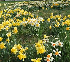Professional's Naturalizing Daffodil  Mix - Once established in a sunny, well-drained site, these Daffodils will double their number in two years, then again in two more. The mix has an extended season of bloom and a first-class range of color and forms. By purchasing landscape-size bulbs, we secure substantial savings. It's a very good value for you, and smaller bulbs are actually easier to plant. For the patient gardener, this is the way to go.
