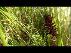 Wurmbea marginata - African Black Flowers - endemic Black Flowers, African, Herbs, Youtube, Plant, Herb, Youtubers, Youtube Movies, Medicinal Plants