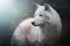 Antarctic Wolf - null