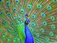 BEAUTIFUL PEACOCK GLOSSY POSTER PICTURE PHOTO peafowl peahen colorful bird 2355