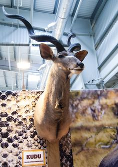 Great Kudu antelope trophy seen during Polish Hunting Fairs - Hubertus EXPO 2015. Hunt beautiful beasts of the wild with us!