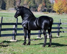 Percheron (Diligencier type) stallion Yoder Farm's Duke