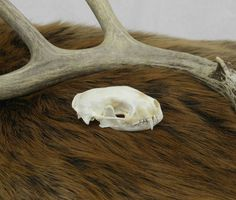 Skunk Skull, Taxidermy, Bones, Vulture Culture, Oddities, Curiosities, Cabin Decor, Rustic Decor, Wicca, Pagan, Animal Skull, Skeleton by SagebrushandBeyond on Etsy