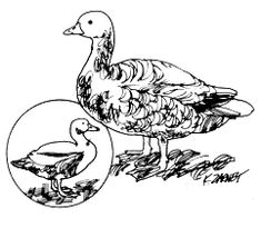 Duck Production and Goose Production at Home  Mother Earth News                                                                                                    This excerpt from Jack Widmer's Practical Animal Husbandry provides practical advice on the process of managing duck production and goose production at home.