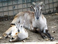 Baby-tahr-copying-mum's-pose,-and-having-a-taste-of-some-solid-food!