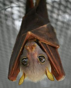What big eyes you have! Adorable brown bat!