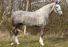 stallion | Coilldarach Scirocco - Stallion AI Services