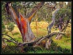 Australian Snow Gums - Dinner Plain - Mountain Range Victoria -