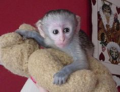 baby spider monkeys in diapers | Healthy Baby Capuchin,Squirrel,Spider and Marmoset monkeys Picture