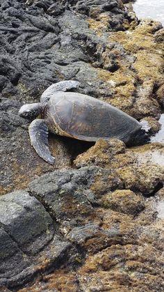 Giant Sea Turtle - Big Island Hawaii