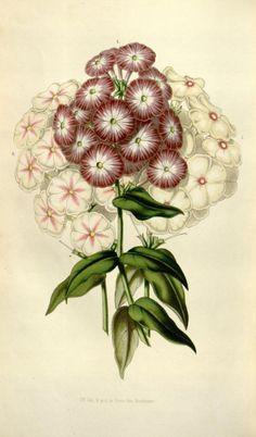 v.6 (1850-51) - Flore des serres et des jardins de l'Europe - Biodiversity Heritage Library