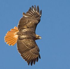The Red-Tailed Hawk is the most popular hawk in North America. I like this Hawk...