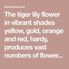The tiger lily flower in vibrant shades yellow, gold, orange and red, hardy, produces vast numbers of flowers (up to 12 per stem) - Growing & Care. Lilly Plants, Plant Care, Orange, Yellow, Numbers, Vibrant, Lily, Shades, Flowers
