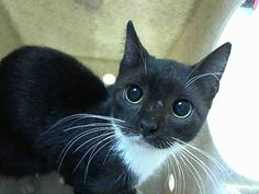 TUESDAY - A1048269 - - Staten Island ***TO BE DESTROYED 08/28/15***TERRIFIC TUX TUESDAY THE KITTEN NEEDS YOU! Ugh!!! Poor Tuesday, a five month old kitten, already spayed was minding her own business when someone decided to trap her and dump her at the kill happy shelter. Did they think they were doing her a favor or was she a neighborhood kitty that they considered a nuisance? All that is certain is that this poor girl, who is merely a kitten who should have her entire li