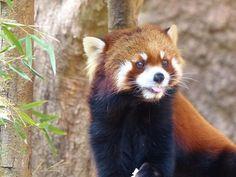のいち動物園 カイ  Red pandas レッサーパンダ 小熊猫