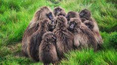 What animal eats baboons?