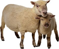 Sheep PNG image, free download