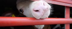 Live Exports' Youngest Victims