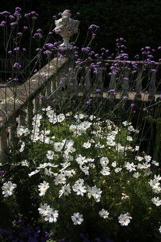 : Cosmos Purity & Verbena bonariensis