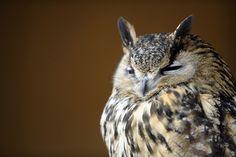 Drowsy owl (Jean-Christophe Verhaegen / AFP - Getty Images)