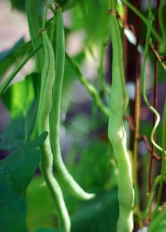 Why Saving Garden Bean Seeds Makes Cents (and How To Do It)