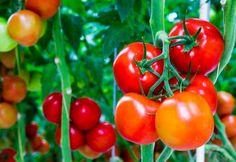 5 tipp, hogy hetekig élvezhesd a friss paradicsomokat a kertedből