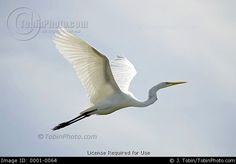 Photo of a Flying Egret