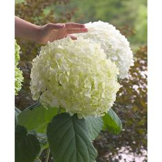 Incrediball Hydrangea (Hydrangea arborescens Incrediball PPAF) at Wayside Gardens Garden Landscaping, Shade Plants, Flower Garden, White Flowers, Shade Garden, Hydrangea Garden, Smooth Hydrangea, Plants, Planting Flowers