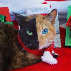 Venus the black and orange cat becomes an Internet star due to her unique split appearance - Independent.ie